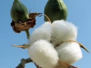 cotton-farm-and-gin-tour-moree-attraction